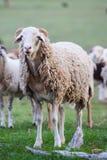 Πρόβατα κατά τη βοσκή Στοκ εικόνα με δικαίωμα ελεύθερης χρήσης
