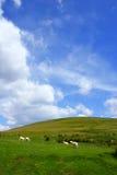 πρόβατα κατά τη βοσκή Στοκ Φωτογραφίες
