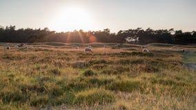 Πρόβατα κατά τη βοσκή Στοκ Εικόνες