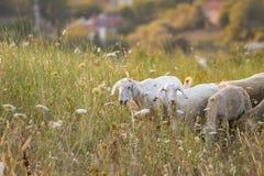Πρόβατα κατά τη βοσκή Στοκ φωτογραφίες με δικαίωμα ελεύθερης χρήσης