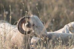 Πρόβατα κατά τη βοσκή Στοκ εικόνες με δικαίωμα ελεύθερης χρήσης