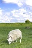 πρόβατα κατά τη βοσκή Στοκ Φωτογραφία