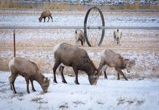 Πρόβατα κατά τη βοσκή Bighorn κοντά στο argicultural σύστημα ποτίσματος Στοκ Εικόνα