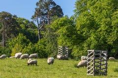 Πρόβατα κατά τη βοσκή Dumfries στο σπίτι σε Cumnock, Σκωτία, UK στοκ εικόνες με δικαίωμα ελεύθερης χρήσης