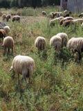 Πρόβατα κατά τη βοσκή Wooly, Ελλάδα στοκ εικόνες με δικαίωμα ελεύθερης χρήσης
