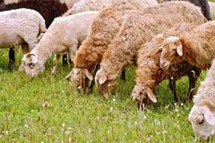 Πρόβατα καφετιά στο λιβάδι Στοκ Φωτογραφίες