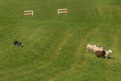 Πρόβατα &#x28 κινήσεων σκυλιών προβάτων Ovis aries&#x29  Προηγούμενοι φράκτες Στοκ Εικόνες