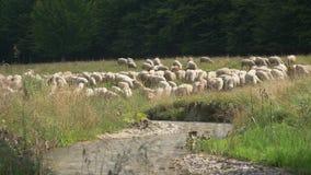 Πρόβατα κοντά στο δασικό ποταμό στο βουνό απόθεμα βίντεο