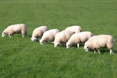 πρόβατα κοπαδιών στοκ φωτογραφίες με δικαίωμα ελεύθερης χρήσης
