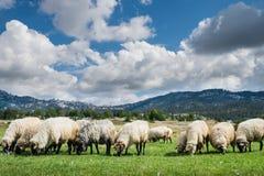 πρόβατα κοπαδιών Στοκ Φωτογραφία