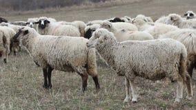 πρόβατα κοπαδιών απόθεμα βίντεο