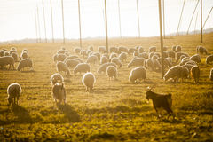 πρόβατα κοπαδιών Στοκ εικόνες με δικαίωμα ελεύθερης χρήσης