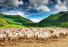 πρόβατα κοπαδιών Στοκ Εικόνες