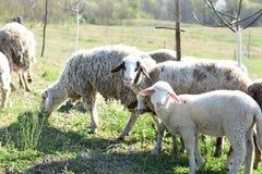 πρόβατα κοπαδιών στοκ εικόνα με δικαίωμα ελεύθερης χρήσης