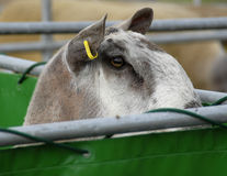 πρόβατα κριού πεννών Στοκ φωτογραφίες με δικαίωμα ελεύθερης χρήσης