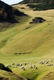 πρόβατα λιβαδιού βουνών κοπαδιών Στοκ Φωτογραφία