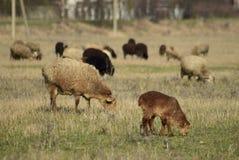 πρόβατα λιβαδιού Στοκ εικόνα με δικαίωμα ελεύθερης χρήσης