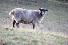 πρόβατα λόφων Στοκ φωτογραφίες με δικαίωμα ελεύθερης χρήσης