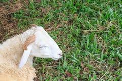 Πρόβατα μέσα σε μια στροφή όχλου για να ελέγξει έξω το φωτογράφο Στοκ φωτογραφίες με δικαίωμα ελεύθερης χρήσης