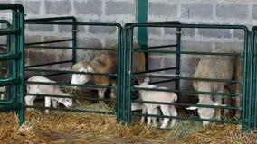 Πρόβατα με τα αρνιά στη μάνδρα βοοειδών απόθεμα βίντεο
