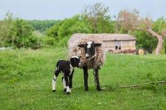 Πρόβατα με τα αρνιά στους λόφους Στοκ εικόνα με δικαίωμα ελεύθερης χρήσης