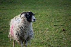 Πρόβατα με τα κέρατα και το μαύρο πρόσωπο που εξετάζουν τη κάμερα στοκ εικόνα με δικαίωμα ελεύθερης χρήσης