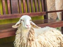 Πρόβατα με την καρέκλα Στοκ εικόνα με δικαίωμα ελεύθερης χρήσης