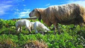 Πρόβατα με τη βοσκή αρνιών απόθεμα βίντεο