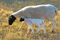 Πρόβατα με το αρνί στην πλευρά του σε ένα λιβάδι στοκ φωτογραφία με δικαίωμα ελεύθερης χρήσης