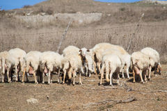 Πρόβατα με το αρνί Στοκ φωτογραφία με δικαίωμα ελεύθερης χρήσης
