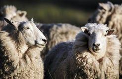 Πρόβατα με το πλήρες δέρας του μαλλιού έτοιμο για τη θερινή κουρά στοκ φωτογραφία με δικαίωμα ελεύθερης χρήσης