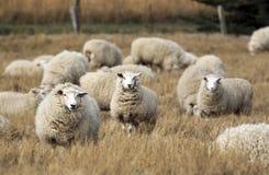 Πρόβατα με το πλήρες δέρας του μαλλιού έτοιμο για τη θερινή κουρά στοκ εικόνες