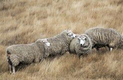 Πρόβατα με το πλήρες δέρας του μαλλιού έτοιμο για τη θερινή κουρά στοκ εικόνες με δικαίωμα ελεύθερης χρήσης