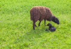 Πρόβατα μητέρων και ακριβώς γεννημένο αρνί Στοκ Φωτογραφίες