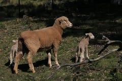 πρόβατα μητέρων μωρών Στοκ εικόνα με δικαίωμα ελεύθερης χρήσης