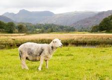 Πρόβατα μπροστά από τους λούτσους Langdale στην περιοχή λιμνών Στοκ φωτογραφίες με δικαίωμα ελεύθερης χρήσης
