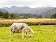Πρόβατα μπροστά από τους λούτσους Langdale στην περιοχή λιμνών Στοκ Εικόνα