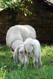 Πρόβατα μωρών στοκ φωτογραφίες