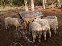 Πρόβατα οικογενειακών κειμηλίων Στοκ Εικόνες