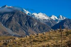 Πρόβατα πάνω από την Κυριακή υποστηριγμάτων, τη φυσική άποψη της Κυριακής υποστηριγμάτων και τα περίχωρα στην περιοχή λιμνών Ashb στοκ εικόνες