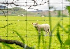 Πρόβατα πίσω από οδοντωτό - καλώδιο Στοκ Φωτογραφίες