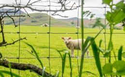 Πρόβατα πίσω από οδοντωτό - καλώδιο Στοκ φωτογραφίες με δικαίωμα ελεύθερης χρήσης