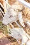 Πρόβατα πίσω από το σταύλο φρακτών στο αγρόκτημα Στοκ Εικόνες