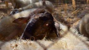 Πρόβατα πίσω από το φράκτη Στοκ Φωτογραφίες