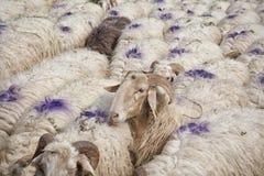 Πρόβατα παντού Στοκ φωτογραφία με δικαίωμα ελεύθερης χρήσης