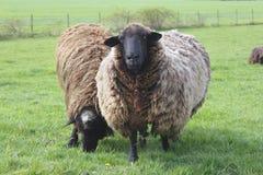 πρόβατα πεδίων Στοκ εικόνα με δικαίωμα ελεύθερης χρήσης