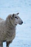 πρόβατα πορτρέτου Στοκ εικόνα με δικαίωμα ελεύθερης χρήσης