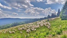 Πρόβατα που ακούονται στα βουνά Στοκ φωτογραφία με δικαίωμα ελεύθερης χρήσης