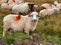 Πρόβατα που ακούονται Στοκ Εικόνα