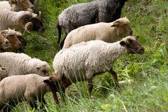 Πρόβατα που ακούονται Στοκ εικόνες με δικαίωμα ελεύθερης χρήσης